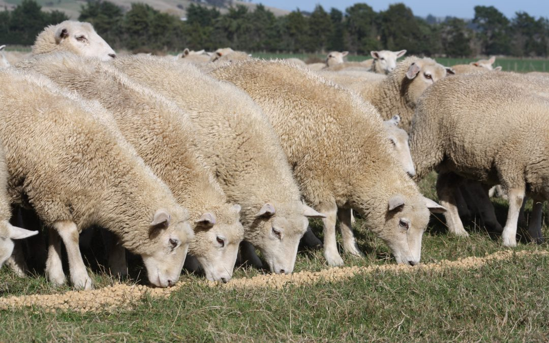 In the News – Building a better two-tooth ewe