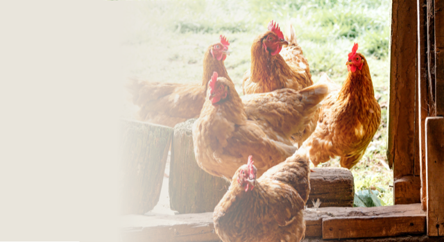 In the News – Beginner's guide to keeping chickens